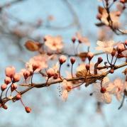stockvault-cherry-blossom132309